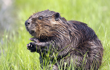 Beaver, deep in thought.