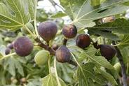 Fig tree with fruit.